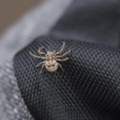 Cymbacha ocellata (Facemask crab spider) at Lake Ginninderra - 26 Nov 2018 by Alison Milton