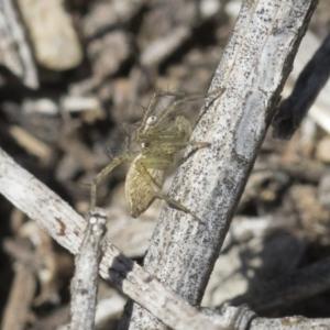 Oxyopes sp. (genus) at Michelago, NSW - 12 Nov 2018
