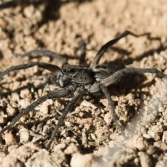 Tasmanicosa sp. (genus) (Unidentified Tasmanicosa wolf spider) at Illilanga & Baroona - 21 Jun 2018 by Illilanga