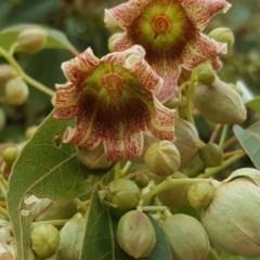 Brachychiton populneus subsp. populneus (Kurrajong) at Symonston, ACT - 27 Nov 2018 by Mike
