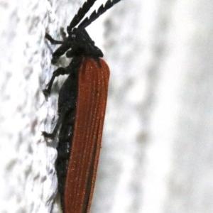 Porrostoma sp. (genus) at Ainslie, ACT - 25 Nov 2018
