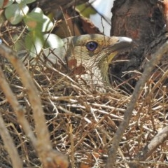 Ptilonorhynchus violaceus (Satin Bowerbird) at Cotter Reserve - 27 Nov 2018 by JohnBundock