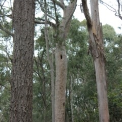 Tree hollows at Benandarah State Forest - 25 Nov 2018 by Paul H