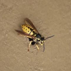 Vespula germanica (European wasp) at Molonglo Valley, ACT - 26 Nov 2018 by RodDeb