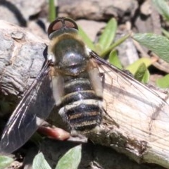Villa sp. (genus) (Unidentified Villa bee fly) at Mount Ainslie - 26 Nov 2018 by jbromilow50