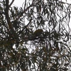 Oriolus sagittatus at Red Hill Nature Reserve - 27 Nov 2018