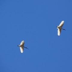 Threskiornis molucca (Australian White Ibis) at Hughes, ACT - 25 Nov 2018 by roymcd