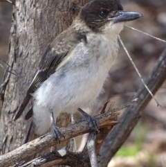 Cracticus torquatus (Grey Butcherbird) at Hughes Garran Woodland - 25 Nov 2018 by roymcd