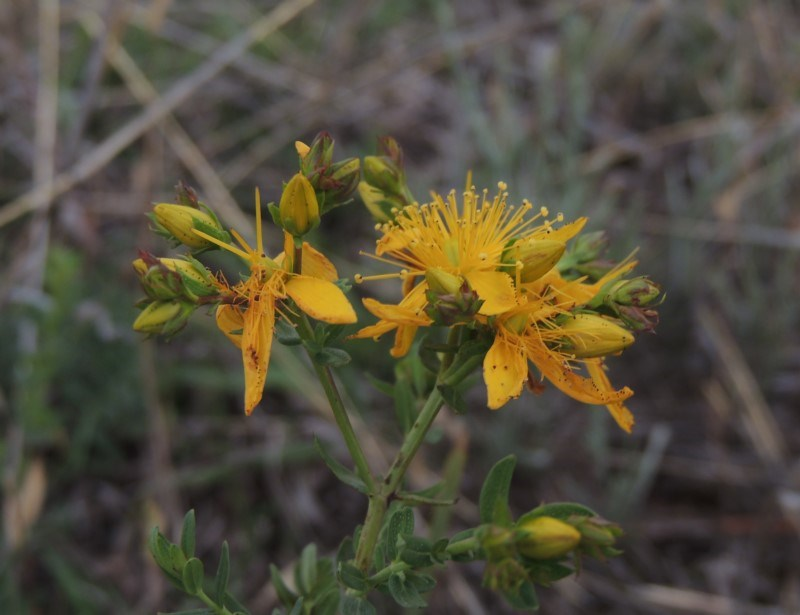 Hypericum perforatum at Crace Grasslands - 22 Nov 2018