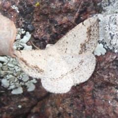 Taxeotis intextata (Looper Moth, Grey Taxeotis) at Jerrabomberra, ACT - 27 Nov 2018 by Christine