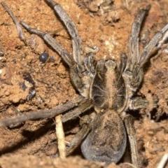 Tasmanicosa sp. (genus) (Unidentified Tasmanicosa wolf spider) at Mount Ainslie - 24 Aug 2018 by jbromilow50