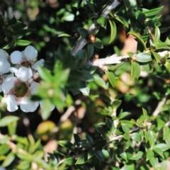 Leptospermum squarrosum at Booderee National Park - 29 Jun 2017 by NicholasdeJong