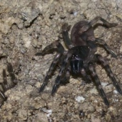 Arbanitis sp. (Spiny Trapdoor Spider) at Rosedale, NSW - 2 Oct 2018 by jbromilow50