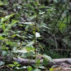 Urtica incisa (Stinging Nettle) at Namadgi National Park - 25 Nov 2018 by KenT