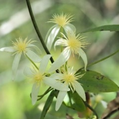 Clematis aristata (Old man's beard) at Namadgi National Park - 26 Nov 2018 by KenT