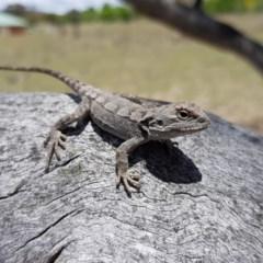 Amphibolurus muricatus (Jacky Dragon) at Royalla, NSW - 29 Nov 2018 by RobSpeirs