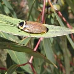 Ellipsidion australe (Austral Ellipsidion cockroach) at Sth Tablelands Ecosystem Park - 28 Nov 2018 by galah681