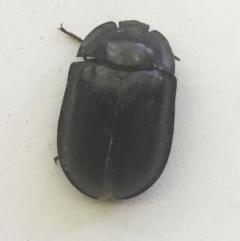 Pterohelaeus piceus (Pie-dish beetle) at Hughes Garran Woodland - 30 Nov 2018 by ruthkerruish
