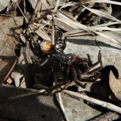 Pompilidae sp. (family) (Unidentified Spider wasp) at Aranda Bushland - 29 Nov 2018 by CathB