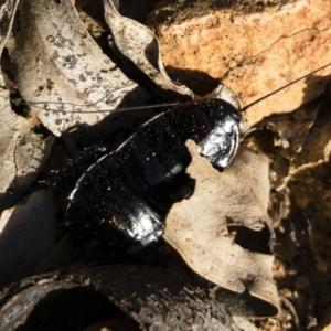 Platyzosteria melanaria at Michelago, NSW - 3 Nov 2018