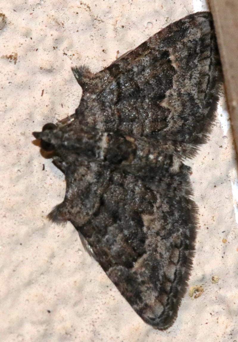 Phrissogonus laticostata at Ainslie, ACT - 29 Nov 2018