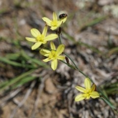 Tricoryne elatior (Yellow Rush Lily) at Gundaroo, NSW - 30 Nov 2018 by MPennay