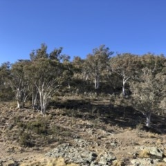 Eucalyptus rossii (Inland Scribbly Gum) at Illilanga & Baroona - 16 Aug 2018 by Illilanga