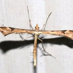 Sinpunctiptilia emissalis (A plume moth) at Ainslie, ACT - 29 Nov 2018 by jbromilow50