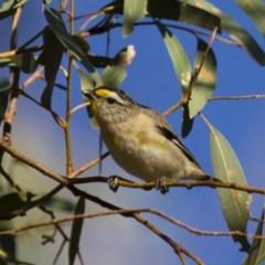 Pardalotus striatus (Striated Pardalote) at Michelago, NSW - 6 Jan 2013 by Illilanga