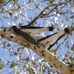 Grallina cyanoleuca (Magpie-lark) at Illilanga & Baroona - 28 Oct 2018 by Illilanga
