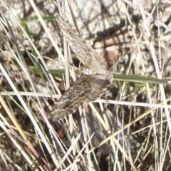 Chrysolarentia argocyma (White-waved Carpet) at Namadgi National Park - 29 Nov 2018 by Christine