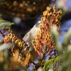 Melithreptus brevirostris at Illilanga & Baroona - 23 Dec 2017
