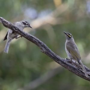 Melithreptus brevirostris at Illilanga & Baroona - 7 Jan 2018