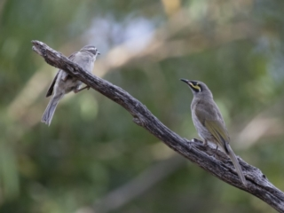Melithreptus brevirostris at Michelago, NSW - 7 Jan 2018