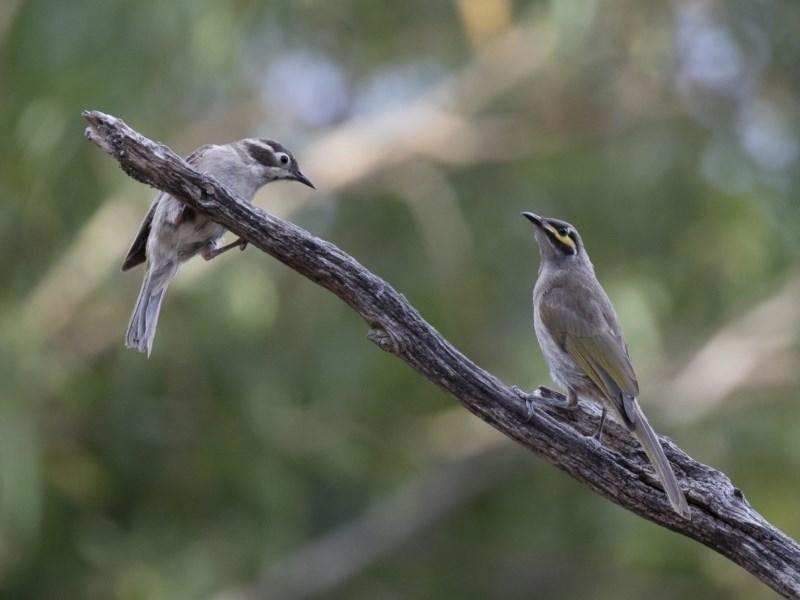 Caligavis chrysops at Michelago, NSW - 7 Jan 2018