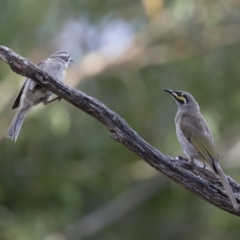 Caligavis chrysops at Illilanga & Baroona - 7 Jan 2018