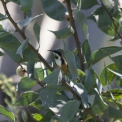 Acanthorhynchus tenuirostris (Eastern Spinebill) at Illilanga & Baroona - 5 Apr 2012 by Illilanga