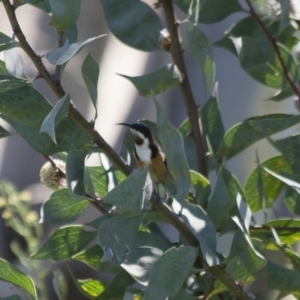 Acanthorhynchus tenuirostris at Illilanga & Baroona - 5 Apr 2012