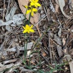 Tricoryne elatior (Yellow Rush Lily) at Hughes, ACT - 30 Nov 2018 by JackyF