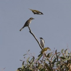 Melithreptus lunatus (White-naped Honeyeater) at Illilanga & Baroona - 30 Apr 2012 by Illilanga