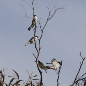 Melithreptus lunatus at Illilanga & Baroona - 1 May 2012