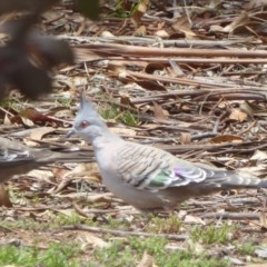 Ocyphaps lophotes (Crested Pigeon) at Red Hill Nature Reserve - 30 Nov 2018 by JackyF
