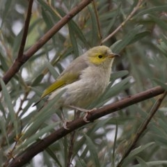 Ptilotula penicillatus (White-plumed Honeyeater) at Illilanga & Baroona - 1 Mar 2013 by Illilanga