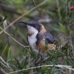 Acanthorhynchus tenuirostris (Eastern Spinebill) at Illilanga & Baroona - 1 Mar 2013 by Illilanga