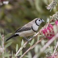 Taeniopygia bichenovii (Double-barred Finch) at Michelago, NSW - 25 Nov 2018 by Illilanga
