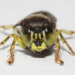 Bembix sp. (genus) (Unidentified Bembix sand wasp) at ANBG - 27 Nov 2018 by TimL
