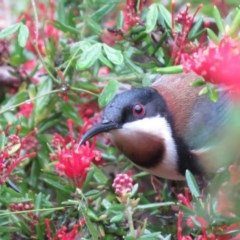Acanthorhynchus tenuirostris (Eastern Spinebill) at Conjola, NSW - 20 Oct 2018 by KumikoCallaway