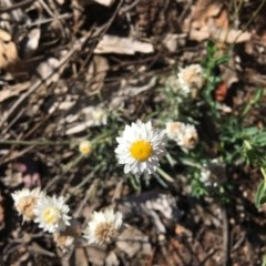 Leucochrysum albicans subsp. tricolor (Hoary Sunray) at Federal Golf Course - 1 Dec 2018 by KL