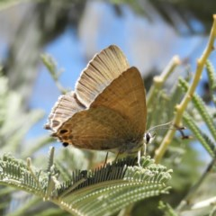 Jalmenus icilius (Amethyst Hairstreak) at Mount Taylor - 30 Nov 2018 by MatthewFrawley