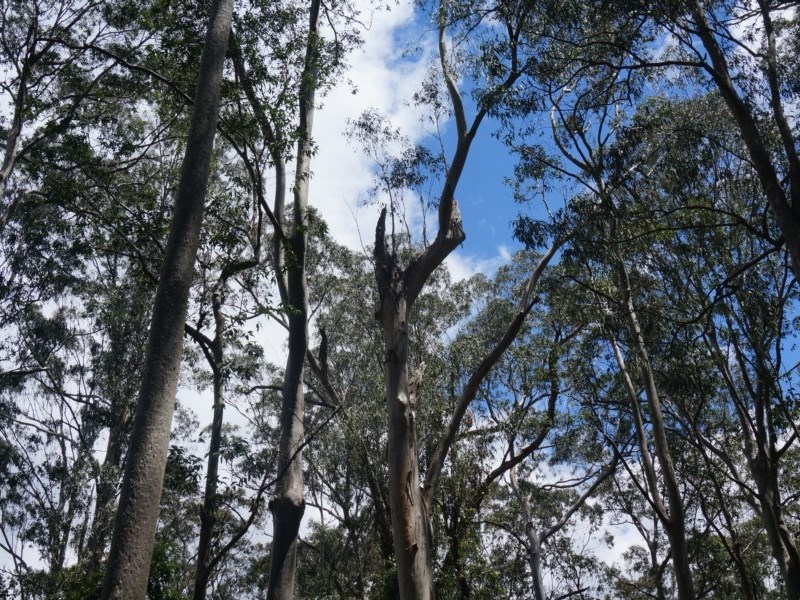Tree hollows at Benandarah State Forest - 25 Nov 2018
